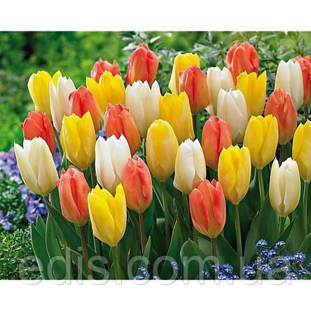 Арт-набор Династия (ранние тюльпаны, 9 луковиц), фото 2