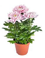 Хризантема Зембла Микс, фото 1