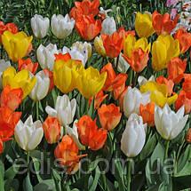 Арт-набор Династия (ранние тюльпаны, 9 луковиц), фото 3
