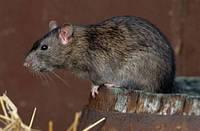 Отрава для крыс и мышей со скидкой!