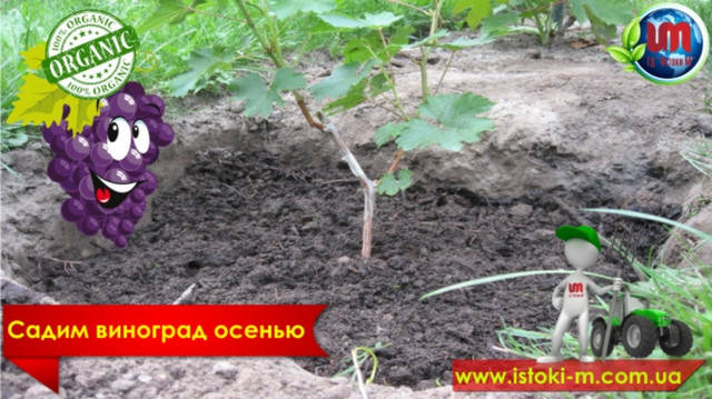 посадка винограда осенью_как иправильно посадить виноград осенью_какмвыбрать черенки винограда для посадки_органические удобрения для винограда_подкормка винограда_органические удобрения для посадки винограда_органические удобрения для подкормки винограда