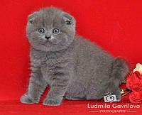 Шотландские котята - шикарный подарок себе, родным и близким!!!