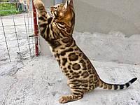 Мальчик 1. Бенгальский котенок от друзей нашего питомника