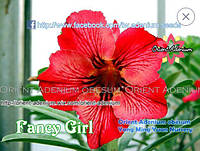 Адениум семена Fancy Girl