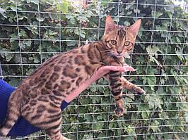 Мальчик 2. Бенгальский котенок от друзей нашего питомника