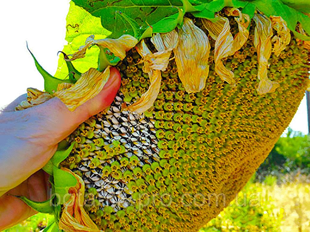 Семена подсолнечника Pioneer P64HH98