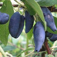 Жимолость сорт Голубое Веретено, полуупакованная на доращивание (10-15 см.)