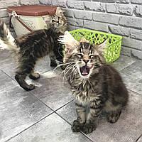 Мальчик 1. Котик Мейн-Кун от друзей нашего питомника