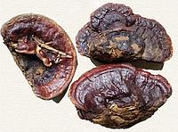 Гриб линчжи (рейши) или ганодерма лакированная дикая