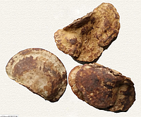 Гриб линчжи (рейши) или ганодерма лакированная дикая 250 г, фото 3