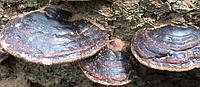 Гриб линчжи (рейши) или ганодерма лакированная дикая 250 г, фото 4