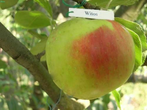 Саженцы яблони сорт Витос, фото 2
