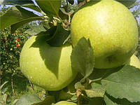 Саженцы яблони сорт Голд Раш