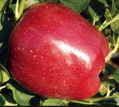 Саженцы яблони сорт Старкримсон