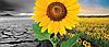 Семена подсолнечника САНАЙ МР (Clearfield®)