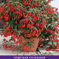 Семена Бегония ампельная боливийская Копакабана F1,  50 семян Сerny