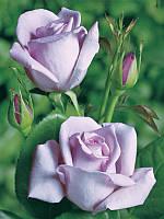 Роза чайно-гибридная Blue moon