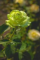 Роза чайно-гибридная Kiwi