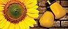 Семена подсолнечника СИ КУПАВА (A–G*) Круйзер)