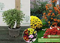 Хризантема в ассортименте, контейнер 3 л