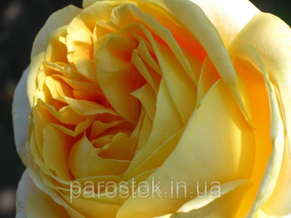 Роза Кендлайт. Чайно гибридная роза.