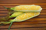 Семена сладкой кукурузы РАКЕЛЬ F1, 50 000 семян, фото 6