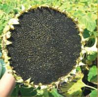 Семена подсолнечника НС-Х-195 экстра (высокоурожайный)