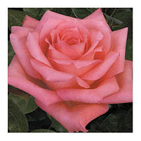 Роза чайно-гибридная Dolce Vita