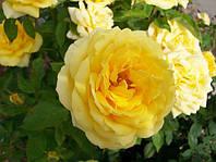 Роза миниатюрная (бордюрная) Yellow doll
