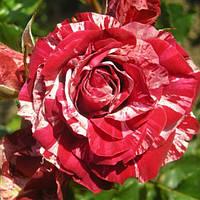 Роза миниатюрная (бордюрная) Arrow Folies