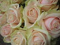 Роза чайно-гибридная Avalanche