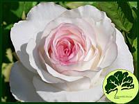 Купить саженцы розы в виннице магазин цветы на 8 марта 110