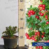 Саженцы брусники Red Cand (Рэд Кенди), контейнер (C2), фото 1