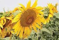 Семена подсолнуха Си Експерто(под евролайтинг), фото 1