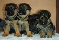 Разведение собак служебных пород Днепропетровск
