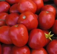 ЛАМПО F1 / LAMPO F1 - томат детерминантный, Nunhems 25 000 семян