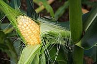 Семена кукурузы Креминь 200 СВ, ФАО 210