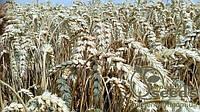 Семена озимой пшеницы сорт Богемия  Чехия   1 репр.
