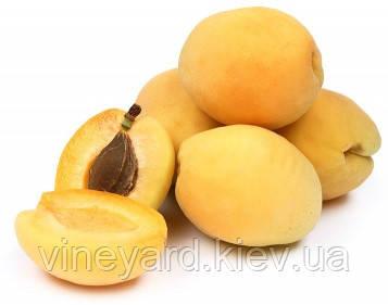 Шалах, Shalah саженцы абрикоса ананасного ДВУХЛЕТНИЕ на сеянце абрикос дикий из рассадника в Киеве