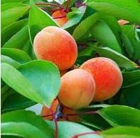 Джумбо Кот, Jumbo Cat саджанці абрикоса на сіянці жерделі