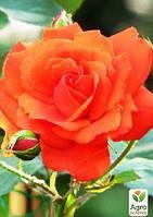 "Роза чайно-гибридная ""Аве Мария"""