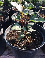 """Пузыреплодник калинолистный Диабло """"Physocarpus opulifolius Diablo Dor"""""""