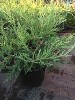 """Можжевельник """"Hetz"""" / Juniperus virg.""""Hetz"""", С3"""