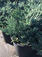 Можжевельник горизонтальный Блю Чип (Juniperus horisontalis Blue Chip), С3