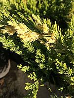 "Можжевельник китайский ""Expansa Variegata"" / Juniperus chinensis ""Expansa Variegata"""