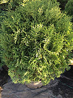 Туя западная Хосери (Thuja occidentalis Hoseri)
