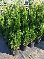 Туя западная Смарагд(Thuja occidentalis Smaragd) h100+см C7.5