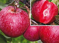 Саджанці яблуні БАЯ МАРІСА (дворічний) ранньозимовий