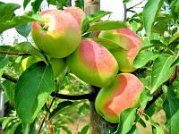 Саджанці яблуні КАНДИЛЬ СЕНАП (дворічний) осіннього строку достигання