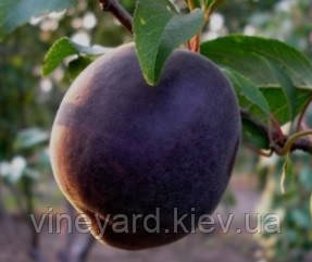 Черный принц, Black Prince саженцы абрикоса на сеянце жардель
